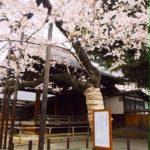 櫻花小知識-讓不懂日語的你也能看懂櫻花預報